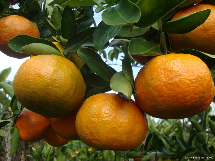 Mudas Cítricas - Frutasbella